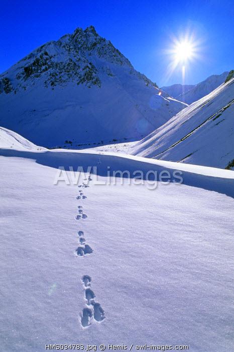 France, Savoie, Maurienne valley, rabbit tracks on snow