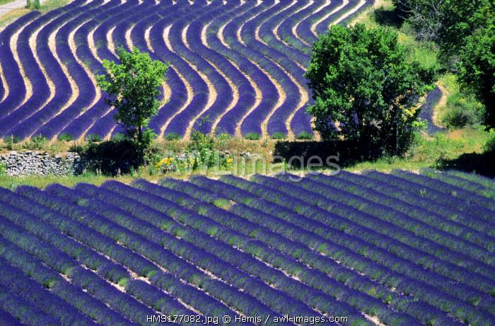 France, Drome, Ferrassieres, lavender field