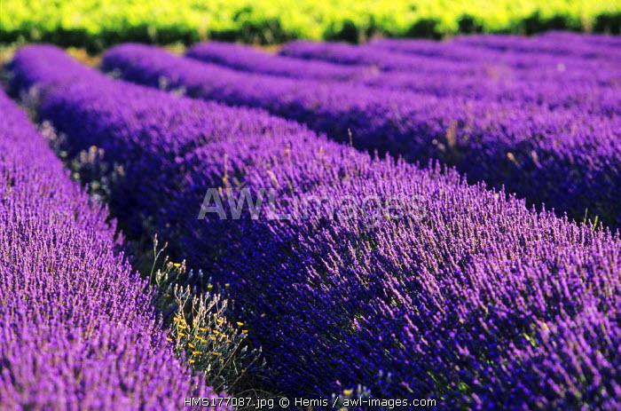 France, Drome, Lavender Field near Grignan