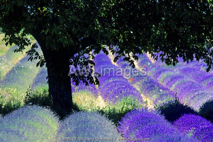 France, Drome, Ferrassieres Region, Lavender Field