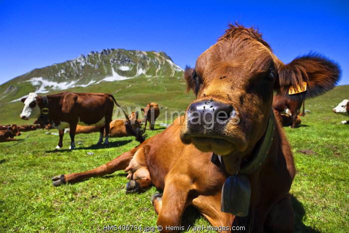 France, Savoie, Les Arcs 1800, a cow