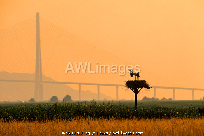 France, Normandy, Seine et Marne, White Stork (Ciconia ciconia), in their nest in front of the Normandy Bridge