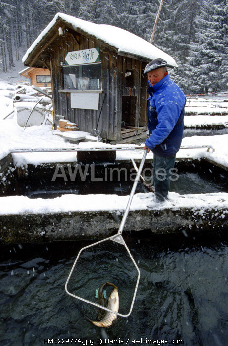 France, Haute Savoie, Morzine, the Meuniers fish breeding, Raymond Buet and his Arctic chars