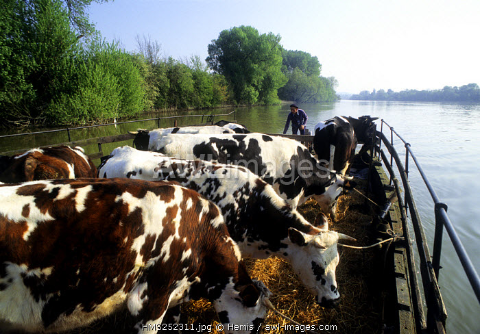 France, Eure, Muids, passage of cows on an island in the Seine