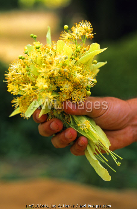 France, Drome, Buis les Baronnies, lime blossom harvesting