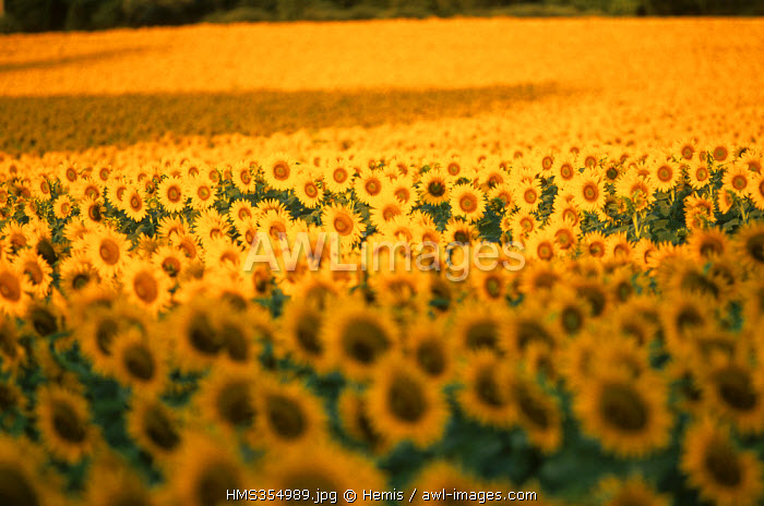 France, Drome, Drome provencale, sunflowers field near Grignan