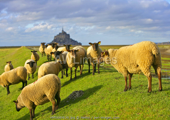 France, Manche, Bay of Mont Saint Michel, listed as World Heritage by UNESCO, Mont Saint Michel salt meadow sheeps