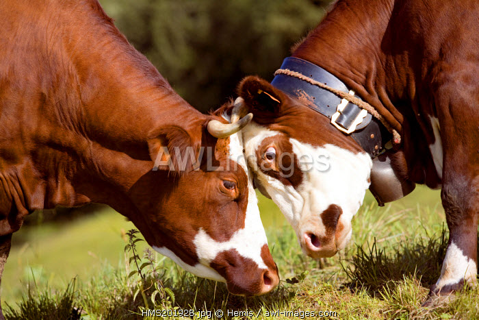 France, Savoie, the Saisies on the Bisanne side, the massif du Beaufortin, cows