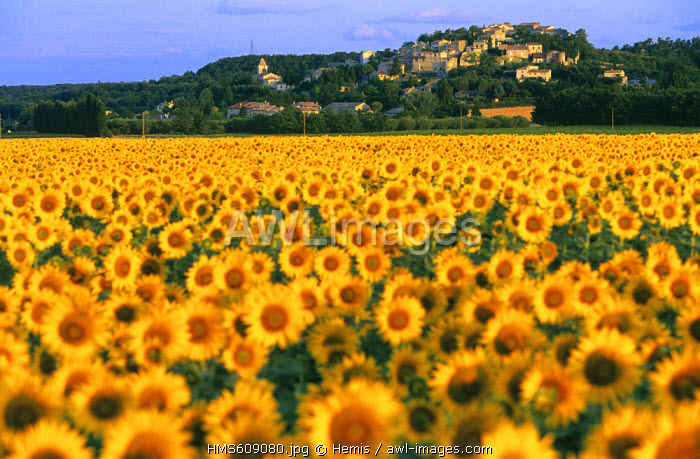 France, Drome, Valaurie, fields of sunflowers