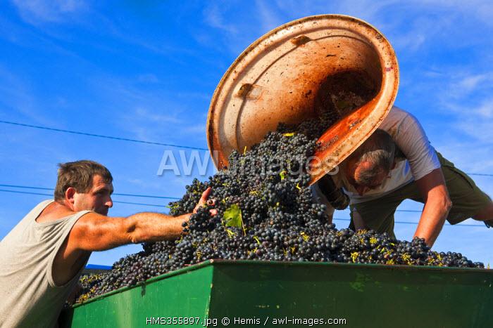 France, Rhone, Le Beaujolais, vineyards of Cotes de Brouilly, grape harvest at the Caveau des Saint Etienne