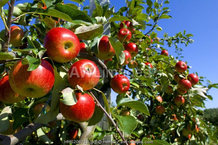 France, Seine Maritime, Pays de Caux, Conihout burg, apple trees of the fruits road along the Seine river