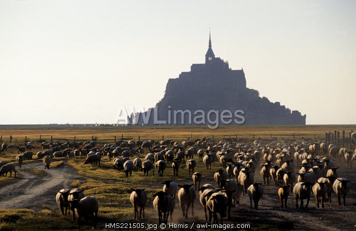 France, Manche, Saint Michel de Montjoie area, Mont Saint Michel (St Michael's Mount), listed as World Heritage by UNESCO, tidal marsh meadows sheep belonging to Philippe Farcy in the bay