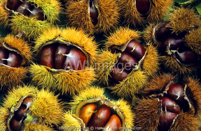 France, Gard, Chestnuts