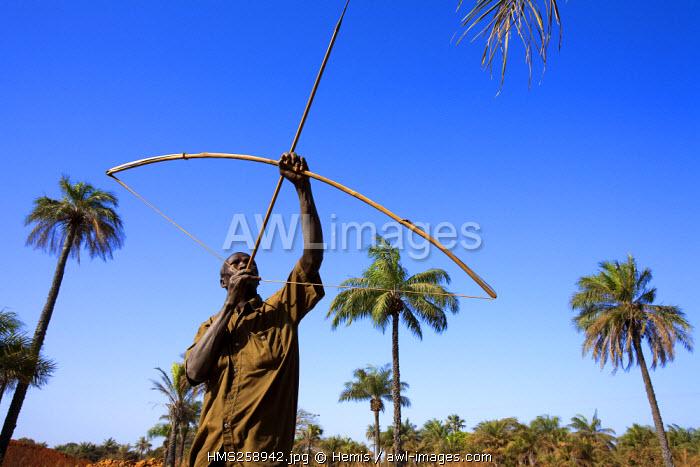 Senegal, Casamance Region, man collecting coconuts