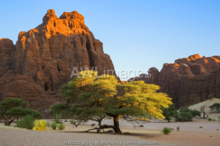 Chad, Bechike, Ennedi, Sahara. Weathered Palaeozoic sandstone and acacia trees at the top of the Bechike Valley.