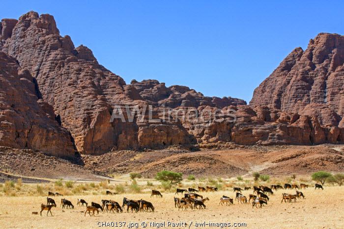 Chad, Deli, Ennedi, Sahara. A herd of goats passes weathered red sandstone hills near Deli.