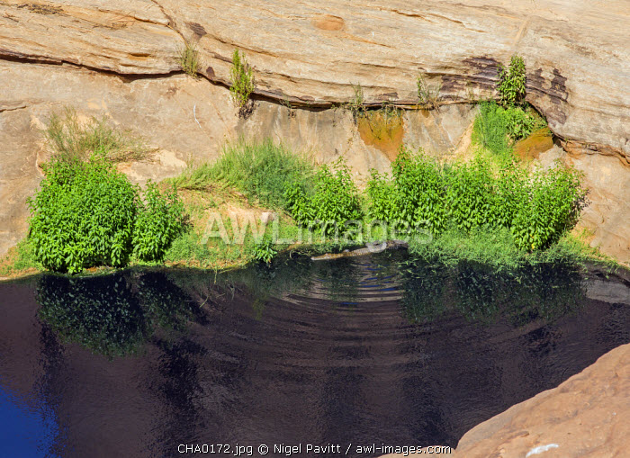 Chad, Wadi Archei, Ennedi, Sahara.  One of the very few remaining Nile Crocodiles in the permanent pool or guelta of Wadi Archei.