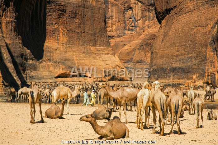 Chad, Wadi Archei, Ennedi, Sahara.  A large herd of camels watering at Wadi Archei, an important source of permanent water.