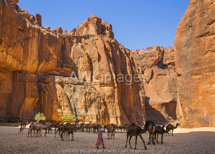 Chad, Wadi Archei, Ennedi, Sahara.  A herd of camels in Wadi Archei.