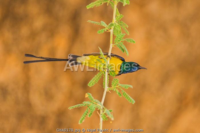 Chad, Wadi Archei, Ennedi, Sahara.  A male Pygmy Sunbird.
