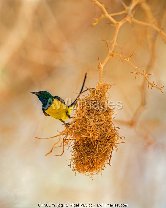 Chad, Wadi Archei, Ennedi, Sahara.  A male Pygmy Sunbird beside its nest.