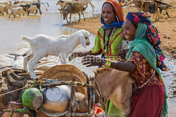 Chad, Mongo, Guera, Sahel.  Chadian Arab Nomad women re-load their donkey after collecting water from a waterhole.