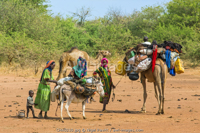 Chad, Mongo, Guera, Sahel. Chadian Arab Nomad women adjust the load on a donkey before resuming their journey to fresh pasture.