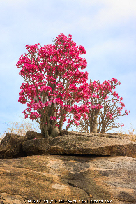 Chad, Bitkine, Guera.  A Desert Rose in full bloom.