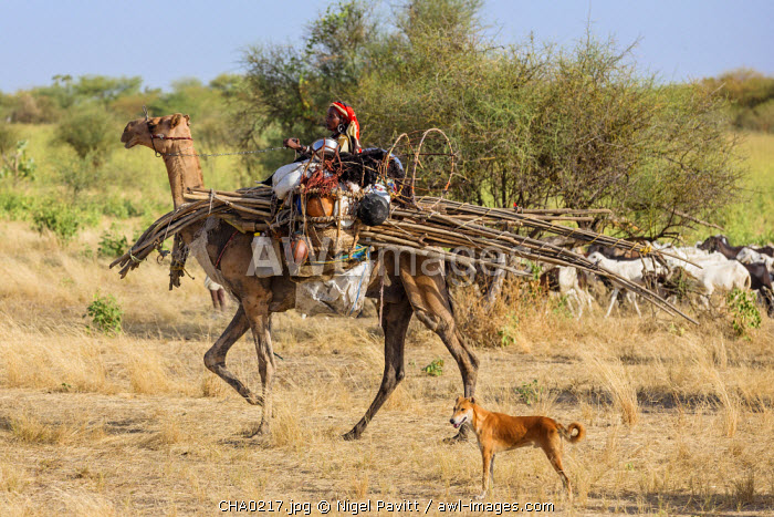 Chad, Arboutchatak, Guera, Sahel. A Peul woman rides a camel laden with the structure of her house and her chattels.