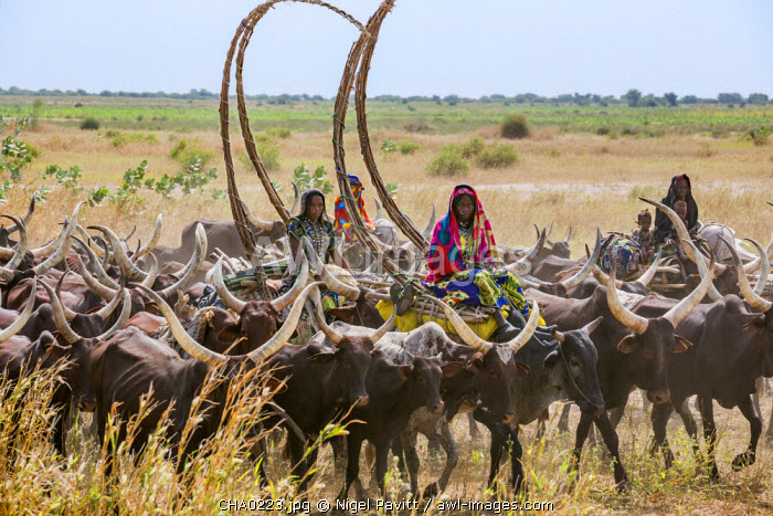 Chad, Arboutchatak, Guera, Sahel. Peul nomads on the move with their long-horned cattle. Their house structures are carried on oxen.