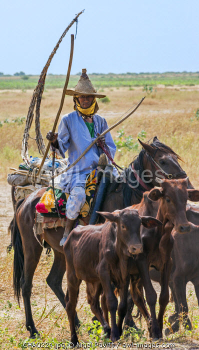 Chad, Arboutchatak, Guera, Sahel. A Peul nomad drives calves on horseback. His conical-shaped woven hat is typical of his tribe.