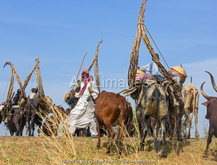 Chad, Arboutchatak, Guera, Sahel. Peul nomads on the move with their herds of long-horned cattle.
