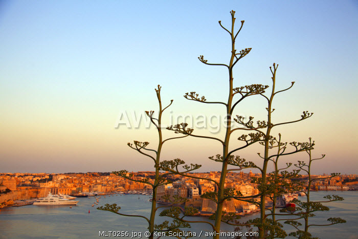 Mediterranean Europe, Malta. Typical Mediterranean plants on the walls overlooking the three cities