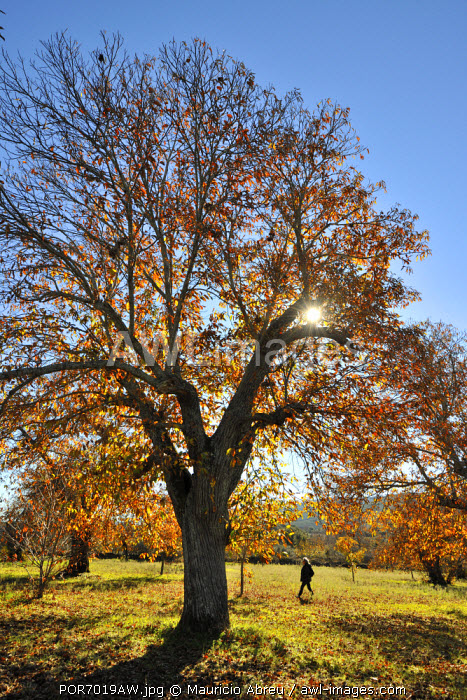 Chestnut trees in Autumn. Sao Mamede Natural Park, Portugal (MR)