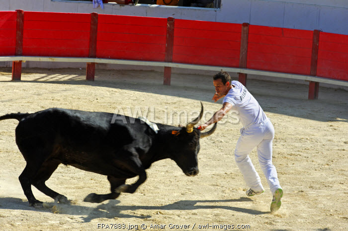 France, Languedoc-Roussillon, Herault, Montpellier. The course libre  is a bloodless spectacle in which the bullfighter attempts to snatch a rosette tied between the horns of a young bull.
