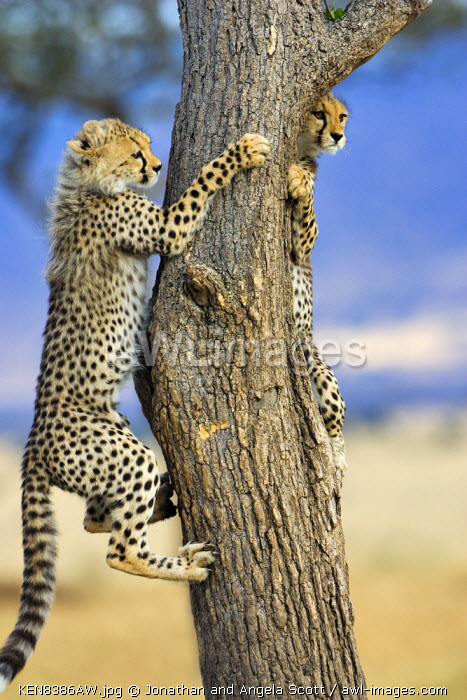 Kenya, Masai Mara, Mara Conservancy also known as the Mara Triangle, Narok County. 2 five month old cheetah cubs climbing a Balanites tree or Desert Date. Cheetah cubs are sometimes able to escape from lions or hyenas in this way, as well as to play.