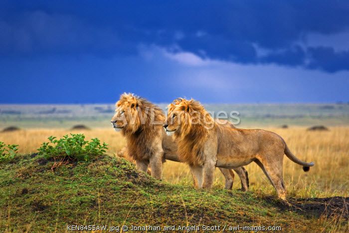 Kenya, Masai Mara, Narok County. Two of a coalition of six male lions alert to intruders on Paradise Plain, the heart of their territory.