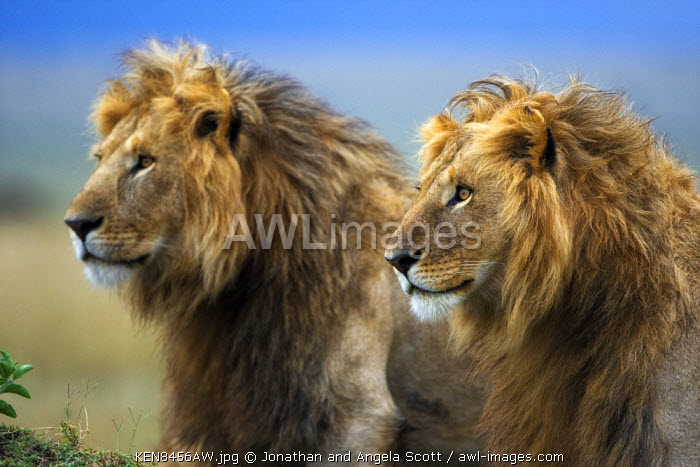 Kenya, Masai Mara, Narok County. Two male lions in the heart of their territory on Paradise Plain, on the alert for rivals.
