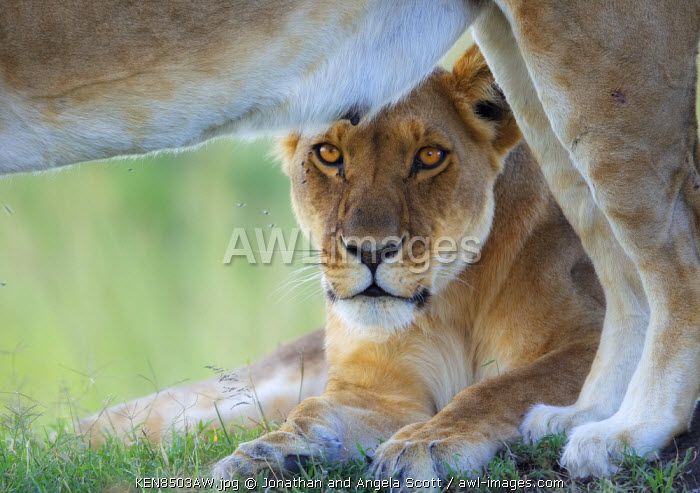 Kenya, Masai Mara, Narok County. Lioness watchful on a termite mound while resting with the pride.