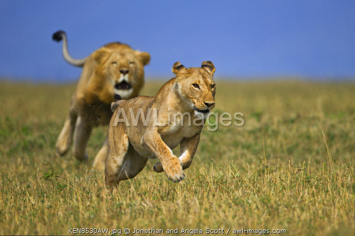 Kenya, Masai Mara, Narok County. Young lioness being chased by one of two nomadic males intent on breeding with her and staking a claim to the territory.