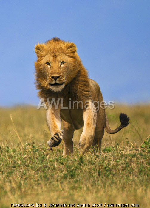 Kenya, Masai Mara, Narok County. A young adult male lion charging. He was trying to intimidate a young lioness who he was courting. Males also charge like this when chasing vultures or hyenas from a kill.