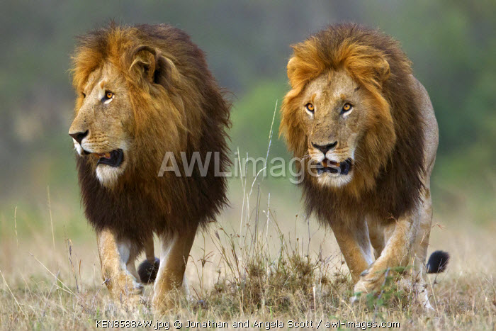 Kenya, Masai Mara, Narok County. Two male lions alert to the movements of female members of their pride. They are patrolling their territory and stopping from time to time to scent mark to signify ownership.
