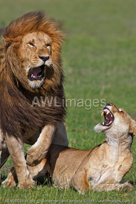 Kenya, Masai Mara, Narok County. Lions mating. There is often a brief and violent spat as the male dismounts.