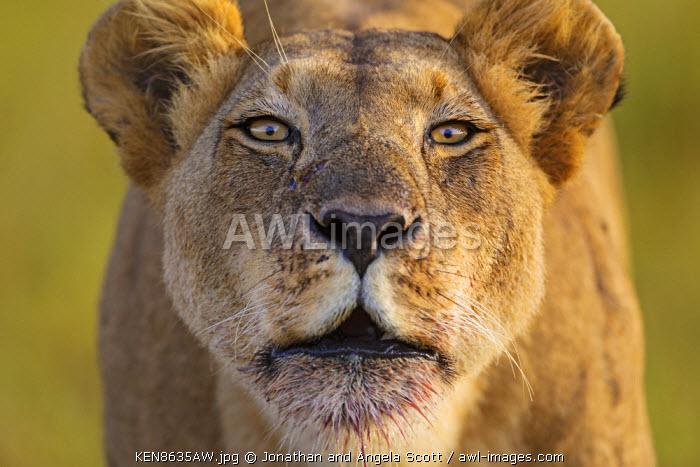 Kenya, Masai Mara, Musiara Marsh, Narok County. A lioness roaring early in the morning.
