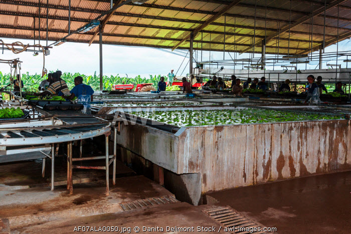 Africa, Cameroon, Tiko. People working at banana plantation.