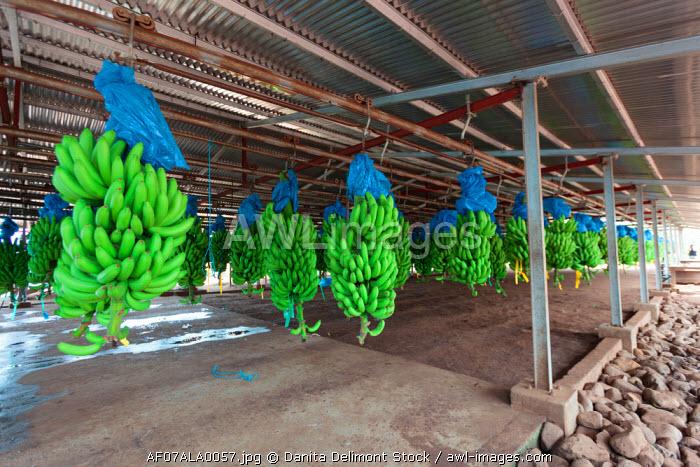Africa, Cameroon, Tiko. Bunches of bananas at banana plantation.