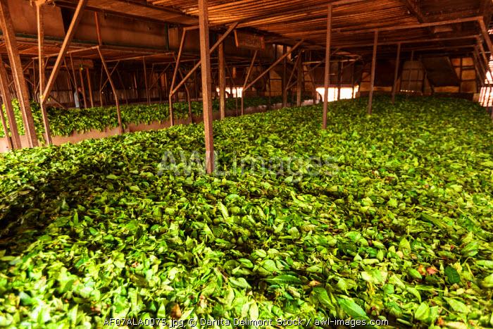 Africa, Cameroon, Buea. Tea leaves at Tole Tea Estate.