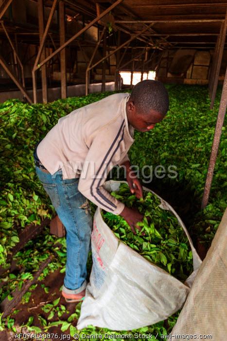 Africa, Cameroon, Buea. Man bagging tea leaves at Tole Tea Estate.