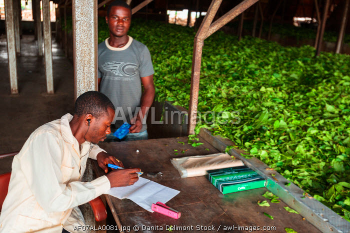 awl-images.com - Cameroon / Africa, Cameroon, Buea. Men working at Tole Tea Estate.