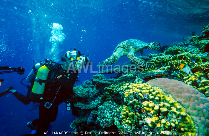 Diver photographing Hawksbill sea turtle (Eretmochelys imbricata), Red Sea, Egypt